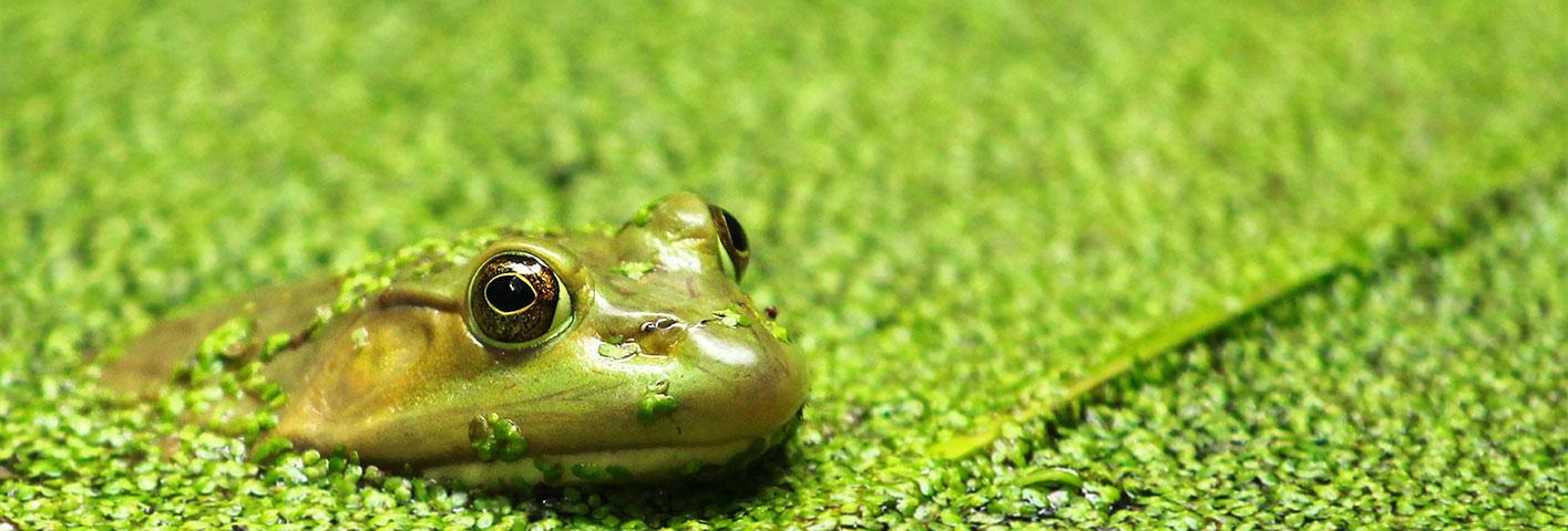 IMA Frog